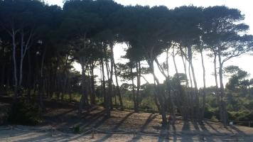 Los pinos de Cala Agulla